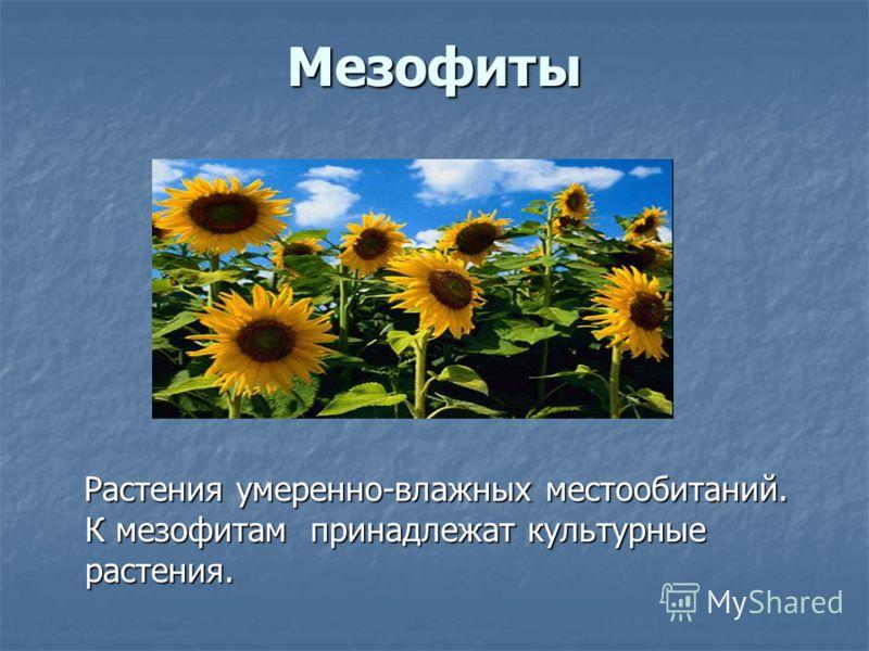 Мезофиты Растения умеренно-влажных местообитаний. К мезофитам принадлежат культурные растения. Растения умеренно-влажных местообитаний. К мезофитам принадлежат культурные растения.