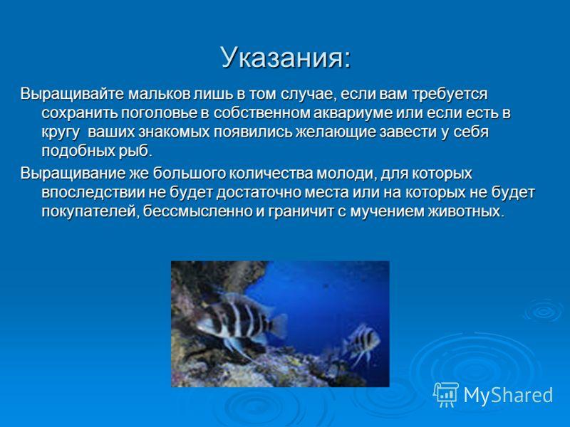 Указания: Выращивайте мальков лишь в том случае, если вам требуется сохранить поголовье в собственном аквариуме или если есть в кругу ваших знакомых появились желающие завести у себя подобных рыб. Выращивание же большого количества молоди, для которы