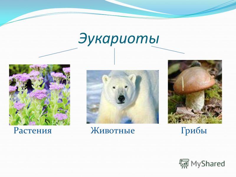 Эукариоты Растения Животные Грибы