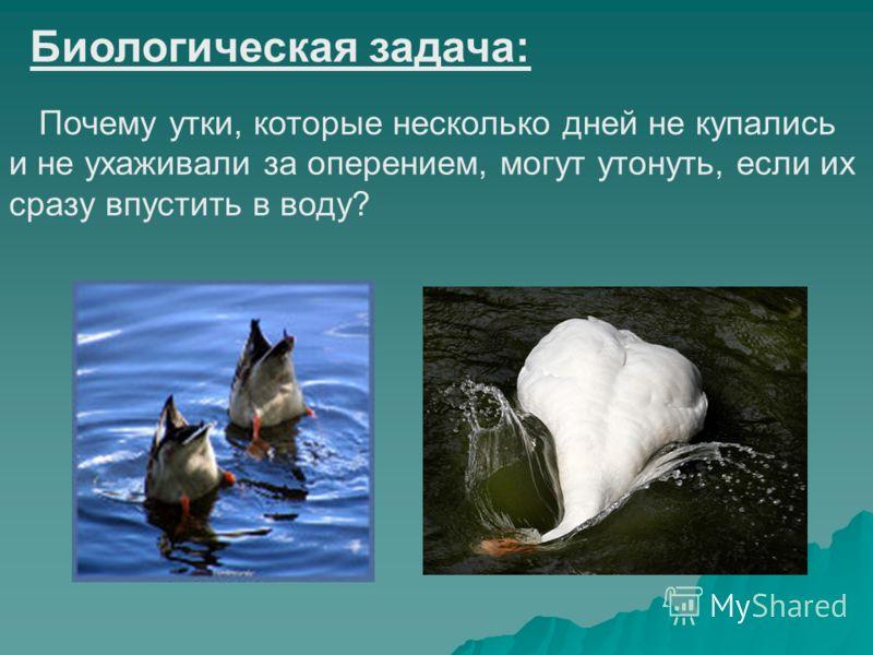 Биологическая задача: Почему утки, которые несколько дней не купались и не ухаживали за оперением, могут утонуть, если их сразу впустить в воду?