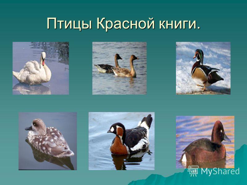 Птицы <a href='http://www.myshared.ru/theme/prezentatsiya-krasnaya-kniga/' title='красная книга'>Красной книги</a>.
