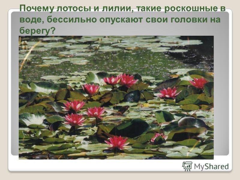 Почему лотосы и лилии, такие роскошные в воде, бессильно опускают свои головки на берегу?