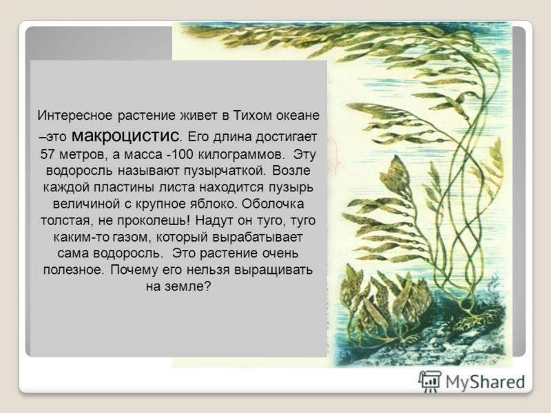Интересное растение живет в Тихом океане –это макроцистис. Его длина достигает 57 метров, а масса -100 килограммов. Эту водоросль называют пузырчаткой. Возле каждой пластины листа находится пузырь величиной с крупное яблоко. Оболочка толстая, не прок