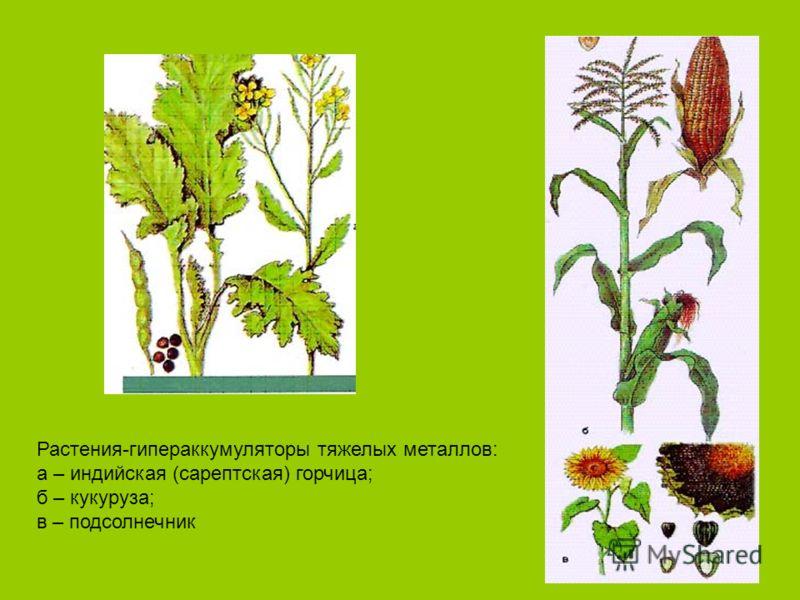 Растения-гипераккумуляторы тяжелых металлов: а – индийская (сарептская) горчица; б – кукуруза; в – подсолнечник