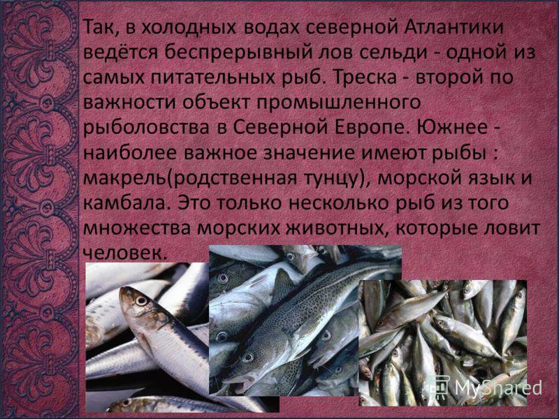 Так, в холодных водах северной Атлантики ведётся беспрерывный лов сельди - одной из самых питательных рыб. Треска - второй по важности объект промышленного рыболовства в Северной Европе. Южнее - наиболее важное значение имеют рыбы : макрель(родственн