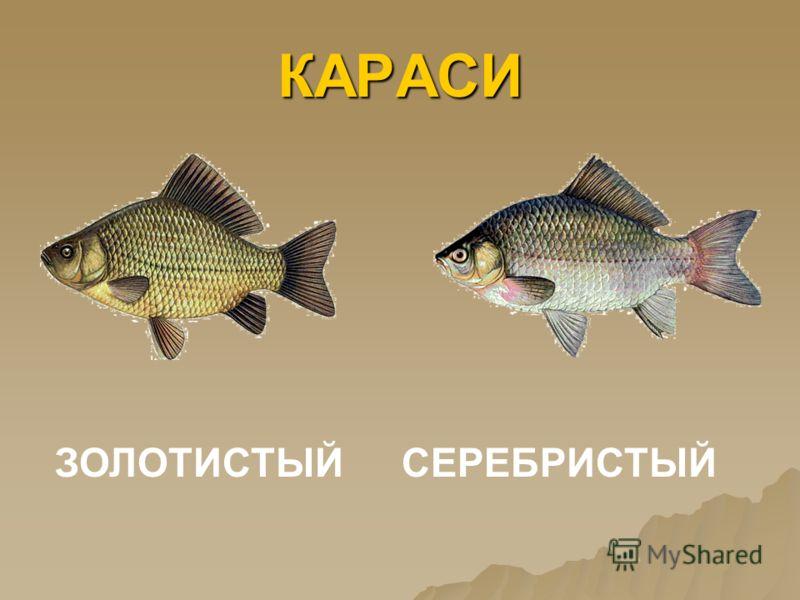 ЖУК-ПЛАВУНЕЦ И ЛИЧИНКА