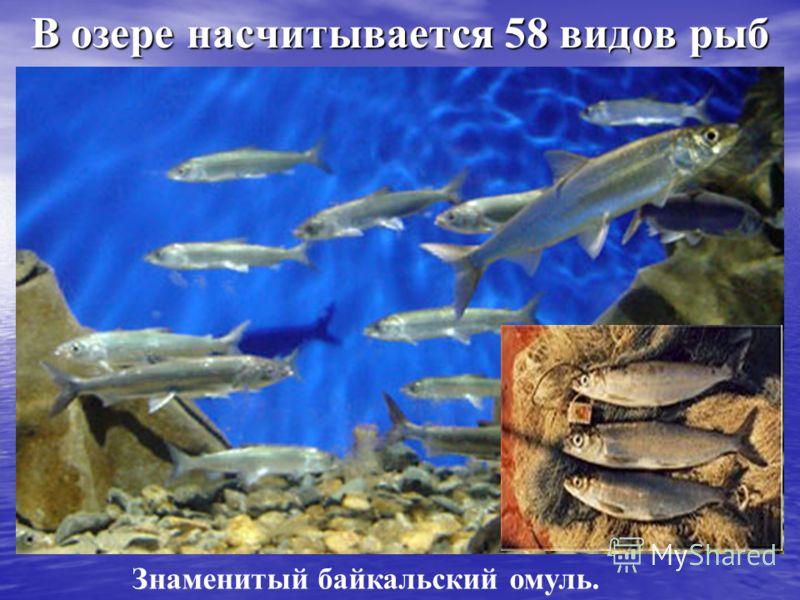В озере насчитывается 58 видов рыб В озере насчитывается 58 видов рыб Знаменитый байкальский омуль.