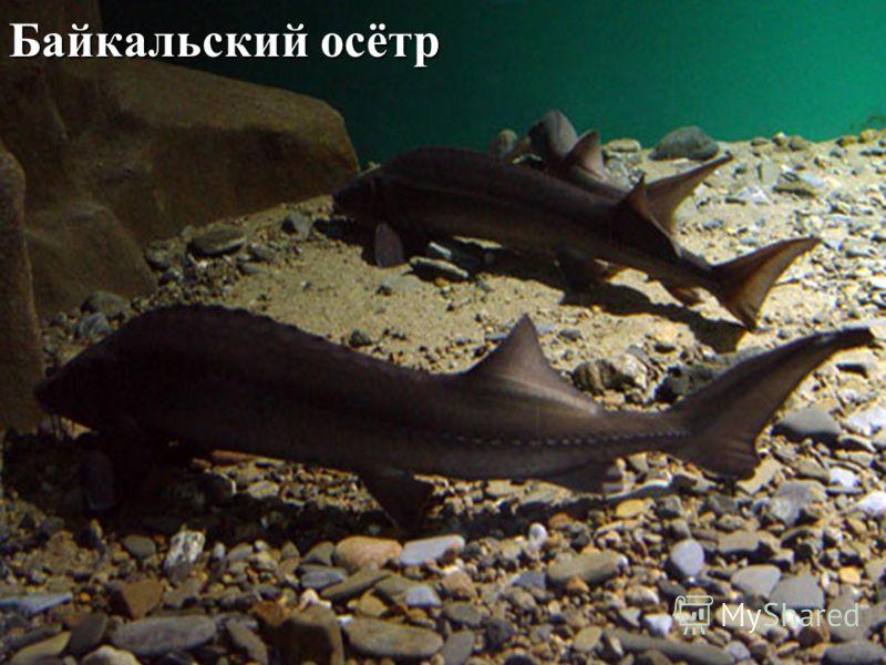 Байкальский осётр