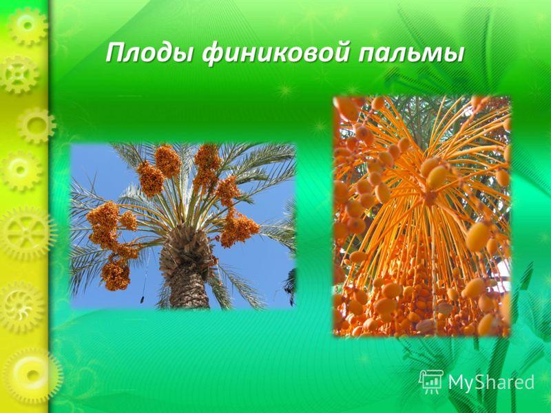Плоды финиковой пальмы