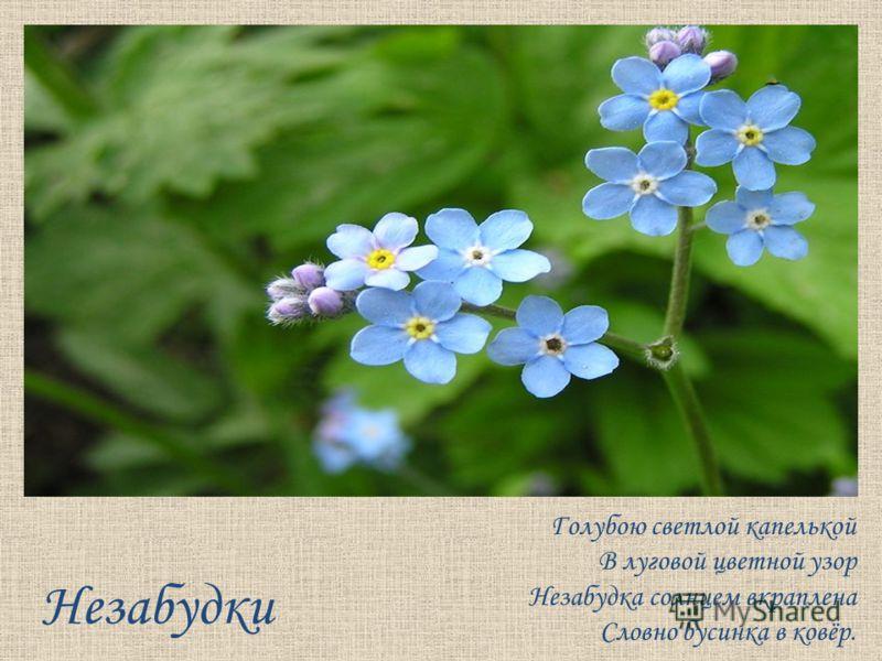 Незабудки Голубою светлой капелькой В луговой цветной узор Незабудка солнцем вкраплена Словно бусинка в ковёр.