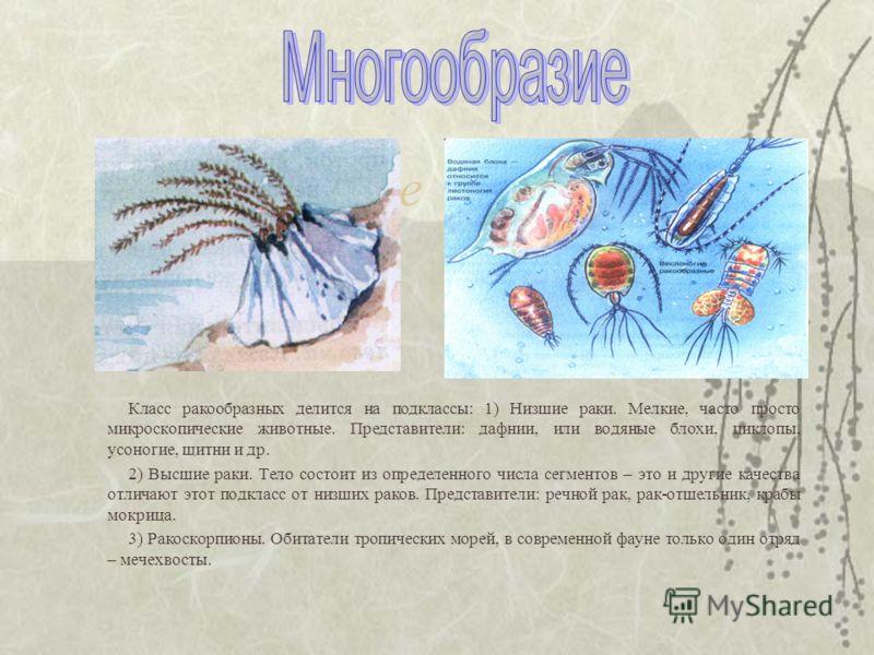 Многообразие Класс ракообразных делится на подклассы: 1) Низшие раки. Мелкие, часто просто микроскопические животные. Представители: дафнии, или водяные блохи, циклопы, усоногие, щитни и др. 2) Высшие раки. Тело состоит из определенного числа сегмент