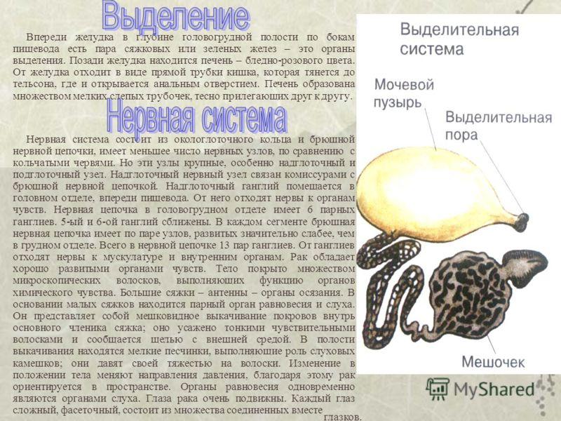 Впереди желудка в глубине головогрудной полости по бокам пищевода есть пара сяжковых или зеленых желез – это органы выделения. Позади желудка находится печень – бледно-розового цвета. От желудка отходит в виде прямой трубки кишка, которая тянется до