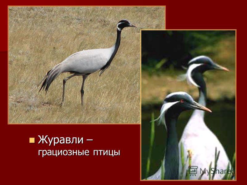 Журавли – грациозные птицы Журавли – грациозные птицы