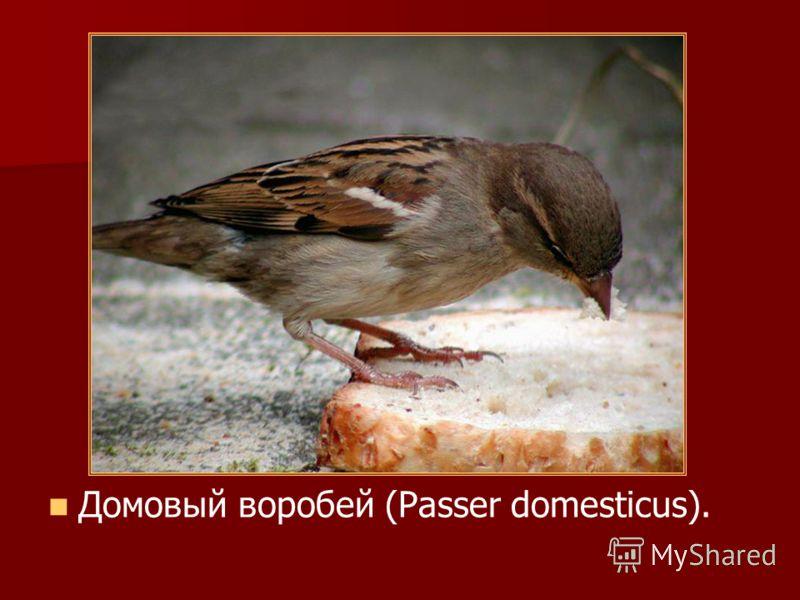 Домовый воробей (Passer domesticus).