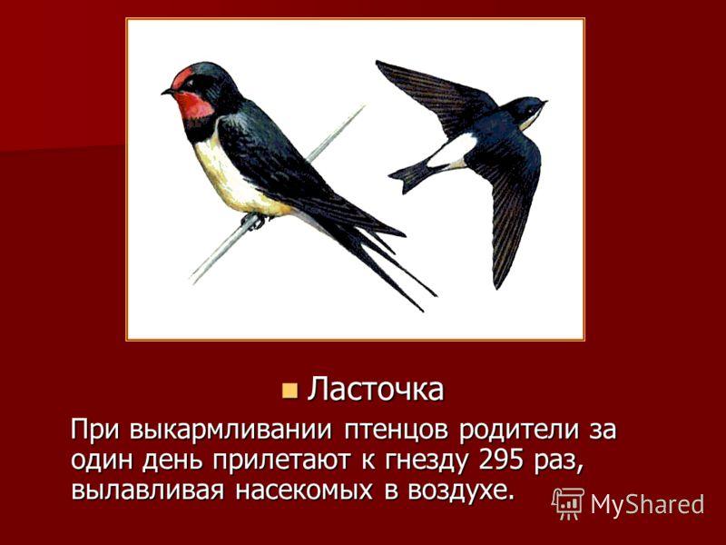 Ласточка Ласточка При выкармливании птенцов родители за один день прилетают к гнезду 295 раз, вылавливая насекомых в воздухе. При выкармливании птенцов родители за один день прилетают к гнезду 295 раз, вылавливая насекомых в воздухе.