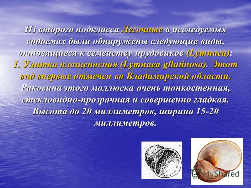 Из второго подкласса Легочные в исследуемых водоемах были обнаружены следующие виды, относящиеся к семейству прудовиков (Lymnaea): 1. Улитка плащеносная (Lymnaea gllutinosa). Этот вид впервые отмечен во Владимирской области. Раковина этого моллюска о