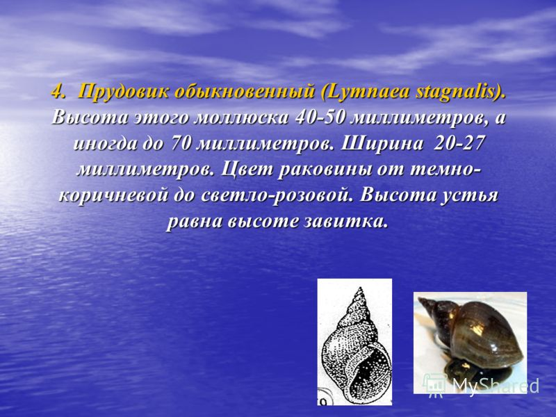 4. Прудовик обыкновенный (Lymnaea stagnalis). Высота этого моллюска 40-50 миллиметров, а иногда до 70 миллиметров. Ширина 20-27 миллиметров. Цвет раковины от темно- коричневой до светло-розовой. Высота устья равна высоте завитка.