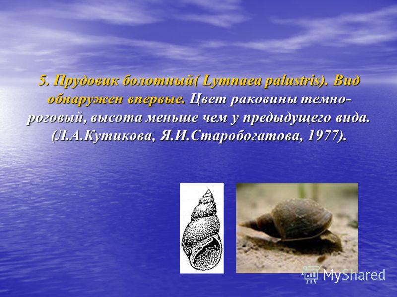 5. Прудовик болотный( Lymnaea palustris). Вид обнаружен впервые. Цвет раковины темно- роговый, высота меньше чем у предыдущего вида. (Л.А.Кутикова, Я.И.Старобогатова, 1977).