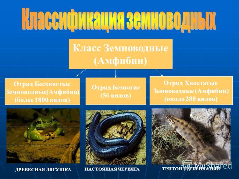 Класс Земноводные (Амфибии) Отряд Бесхвостые Земноводные(Амфибии) (более 1800 видов) Отряд Хвостатые Земноводные (Амфибии) (около 280 видов) Отряд Безногие (56 видов) НАСТОЯЩАЯ ЧЕРВЯГА ТРИТОН ГРЕБЕНЧАТЫЙ ДРЕВЕСНАЯ ЛЯГУШКА