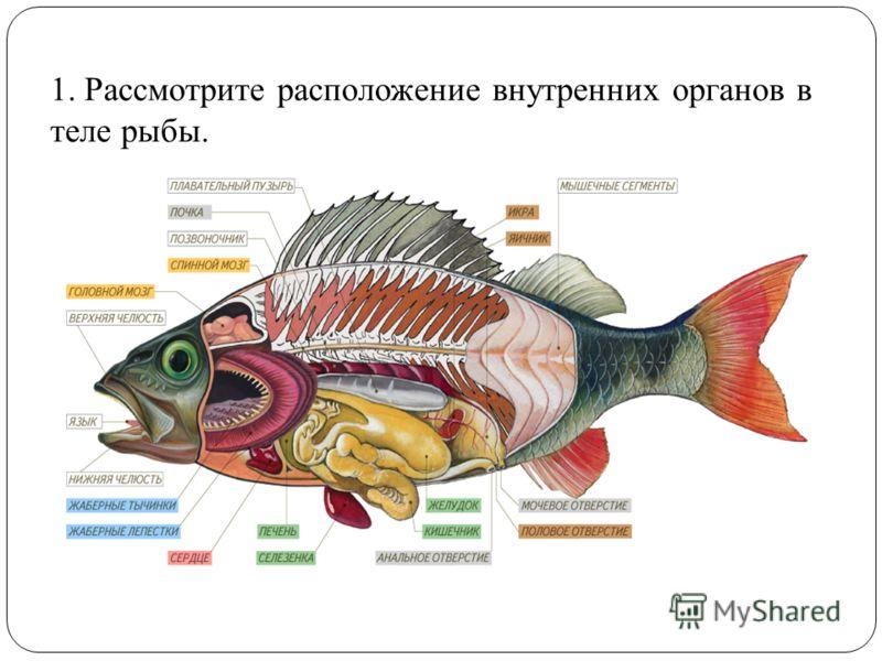 1. Рассмотрите расположение внутренних органов в теле рыбы.