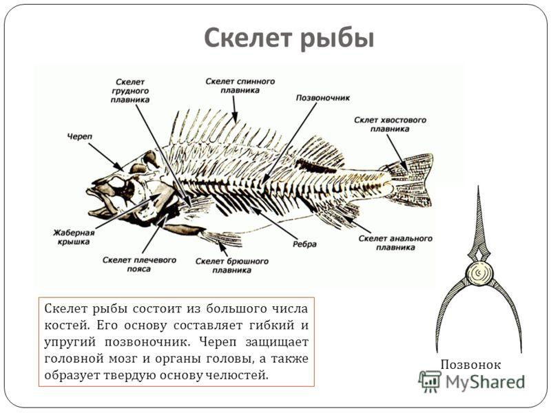 Скелет рыбы состоит из большого числа костей. Его основу составляет гибкий и упругий позвоночник. Череп защищает головной мозг и органы головы, а также образует твердую основу челюстей. Скелет рыбы Позвонок