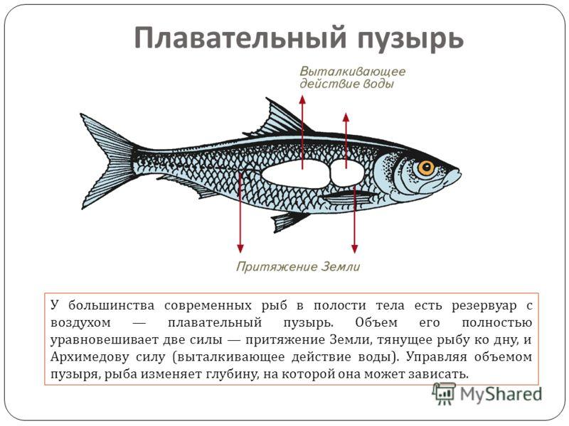 У большинства современных рыб в полости тела есть резервуар с воздухом плавательный пузырь. Объем его полностью уравновешивает две силы притяжение Земли, тянущее рыбу ко дну, и Архимедову силу ( выталкивающее действие воды ). Управляя объемом пузыря,