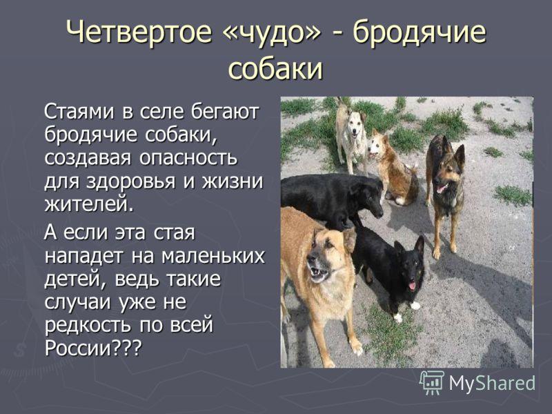 Четвертое «чудо» - бродячие собаки Стаями в селе бегают бродячие собаки, создавая опасность для здоровья и жизни жителей. Стаями в селе бегают бродячие собаки, создавая опасность для здоровья и жизни жителей. А если эта стая нападет на маленьких дете