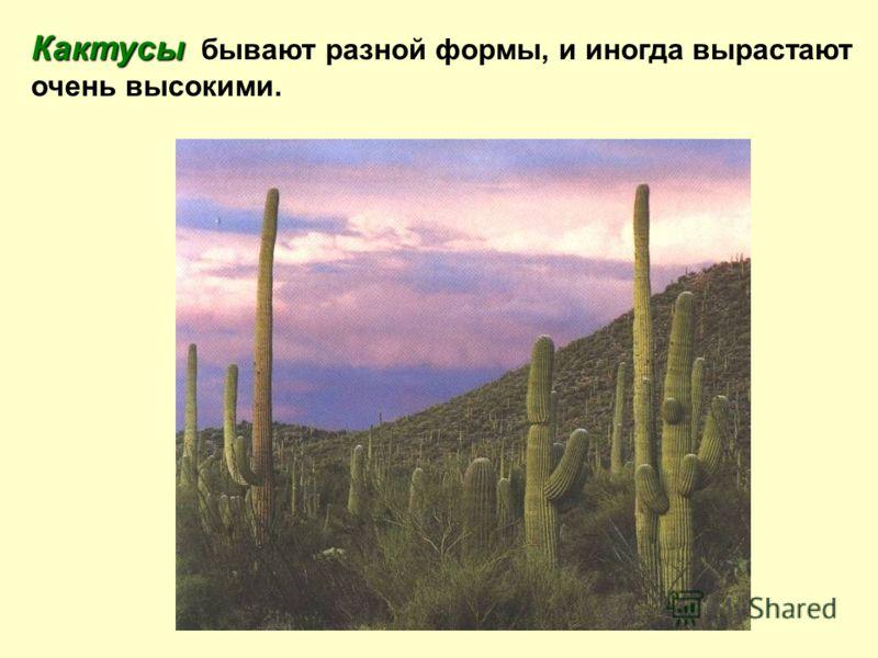 Кактусы Кактусы бывают разной формы, и иногда вырастают очень высокими.