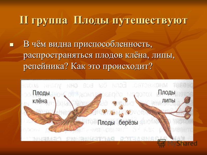 II группа Плоды путешествуют В чём видна приспособленность, распространяться плодов клёна, липы, репейника? Как это происходит? В чём видна приспособленность, распространяться плодов клёна, липы, репейника? Как это происходит?
