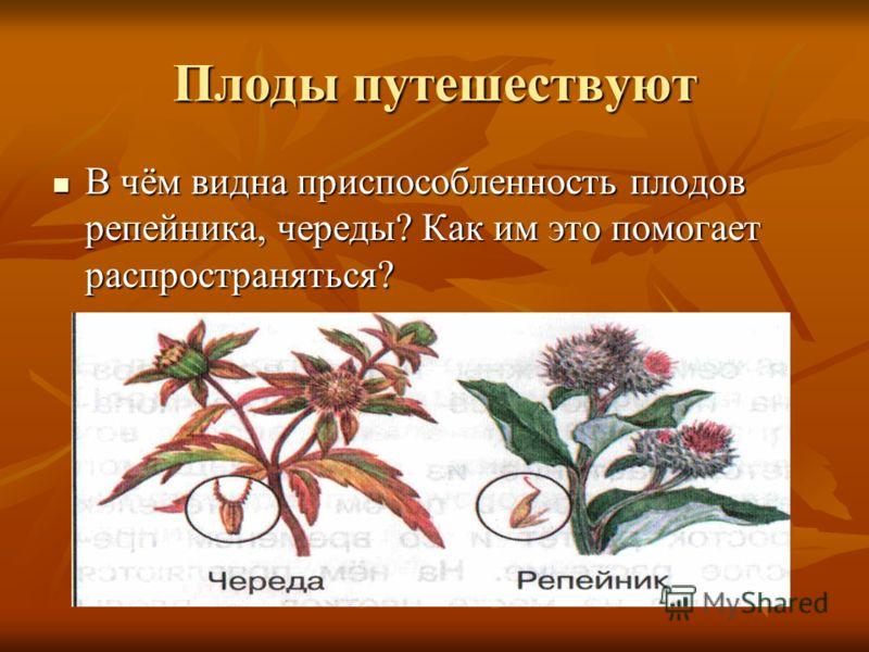 Плоды путешествуют В чём видна приспособленность плодов репейника, череды? Как им это помогает распространяться? В чём видна приспособленность плодов репейника, череды? Как им это помогает распространяться?