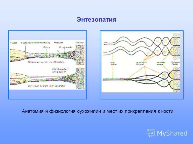 Энтезопатия Анатомия и физиология сухожилий и мест их прикрепления к кости