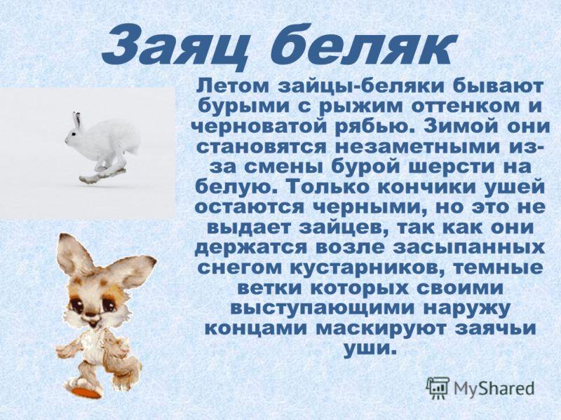 Заяц беляк Длина тела наиболее крупных зайцев достигает 70 см, а масса 5,5 кг. Более длинные задние ноги позволяют им делать большие прыжки и убегать от преследования, а их широкие ступни при отталкивании от поверхности создают прочную опору, не пров