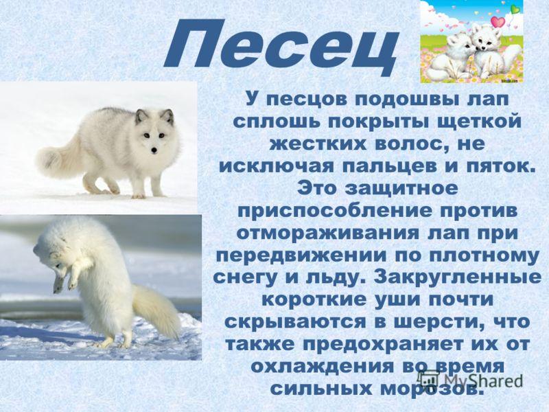 Песец Песцы промысловые пушные звери, которых иногда называют полярными лисицами. По размерам они немного меньше настоящих лисиц. Белый песец становится чисто-белым только зимой, а к лету у него на спине и лопатках появляются крестообразно расположен
