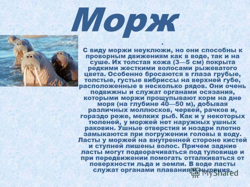 Морж Моржи принадлежат к числу крупных ластоногих млекопитающих. Они распространены по мелководным морям Северного Ледовитого океана круглополярно, но очень неравномерно. В среднем длина тела моржей 34 м, а масса около 1,5 т. Самой характерной особен
