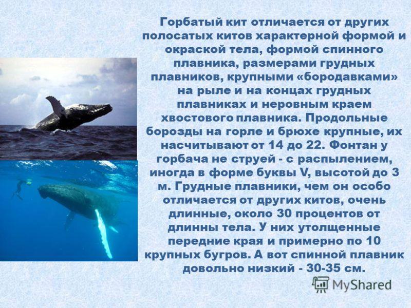 Горбатый кит Горбатый кит, или как его еще называют горбач, является водным млекопитающим относящимся к семейству полосатиковых китов и подотряду усатых китов. Существует две версии появления его названия. Первая это его похожий на горб спинной плавн