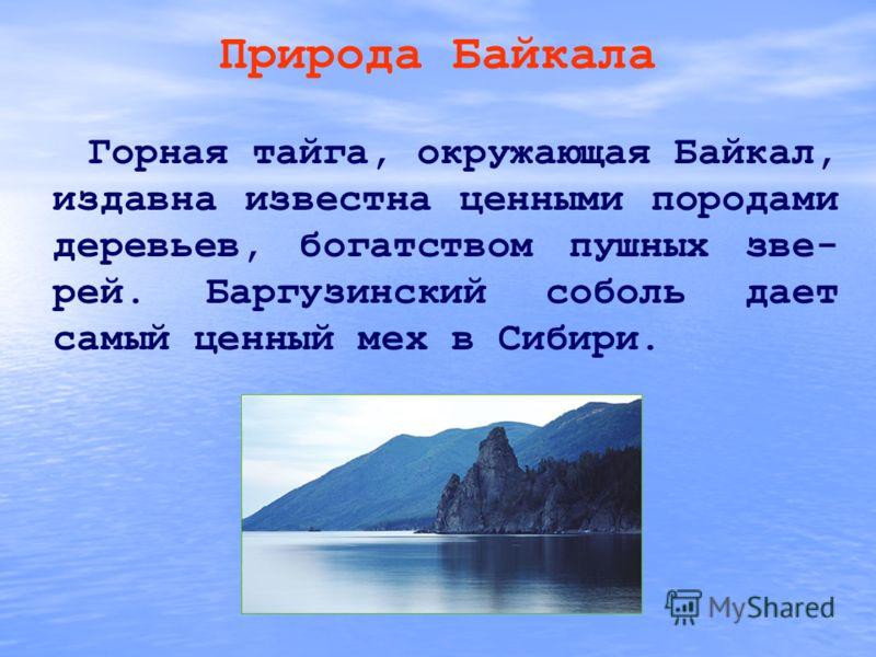 Природа Байкала Горная тайга, окружающая Байкал, издавна известна ценными породами деревьев, богатством пушных зве- рей. Баргузинский соболь дает самый ценный мех в Сибири.