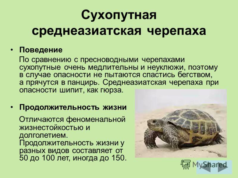 Сухопутная среднеазиатская черепаха Поведение По сравнению с пресноводными черепахами сухопутные очень медлительны и неуклюжи, поэтому в случае опасности не пытаются спастись бегством, а прячутся в панцирь. Среднеазиатская черепаха при опасности шипи