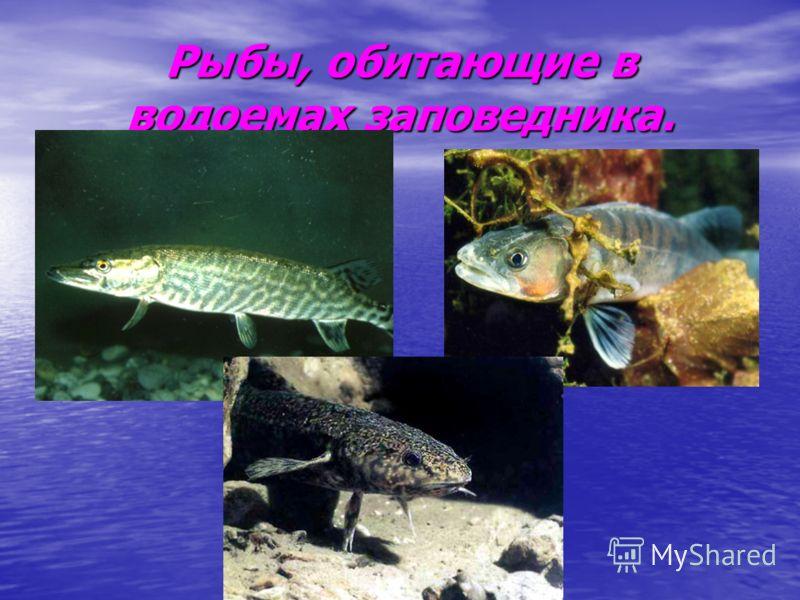Рыбы, обитающие в водоемах заповедника.