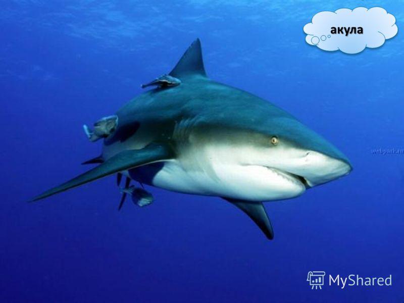 акулаакула