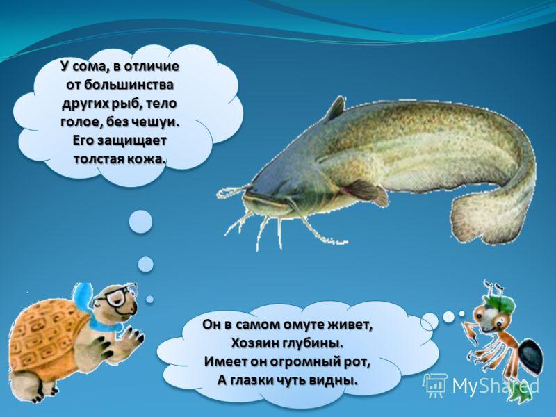 У сома, в отличие от большинства других рыб, тело голое, без чешуи. Его защищает толстая кожа. Он в самом омуте живет, Хозяин глубины. Имеет он огромный рот, А глазки чуть видны.