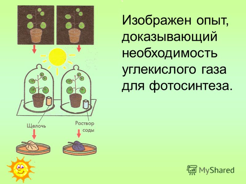 Изображен опыт, доказывающий необходимость углекислого газа для фотосинтеза.