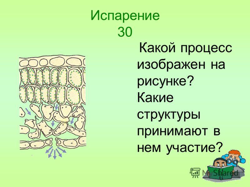 Испарение 30 Какой процесс изображен на рисунке? Какие структуры принимают в нем участие?