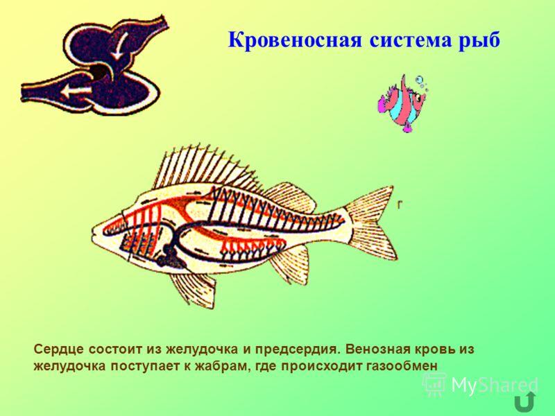 Кровеносная система рыб Сердце состоит из желудочка и предсердия. Венозная кровь из желудочка поступает к жабрам, где происходит газообмен