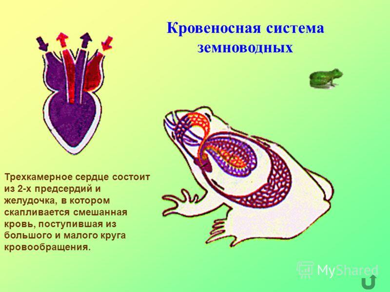 Кровеносная система земноводных Трехкамерное сердце состоит из 2-х предсердий и желудочка, в котором скапливается смешанная кровь, поступившая из большого и малого круга кровообращения.