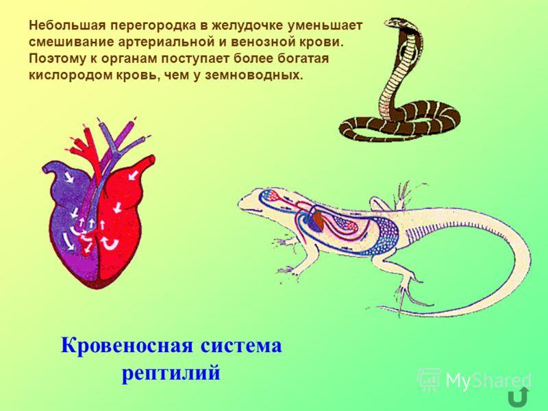 Кровеносная система рептилий Небольшая перегородка в желудочке уменьшает смешивание артериальной и венозной крови. Поэтому к органам поступает более богатая кислородом кровь, чем у земноводных.