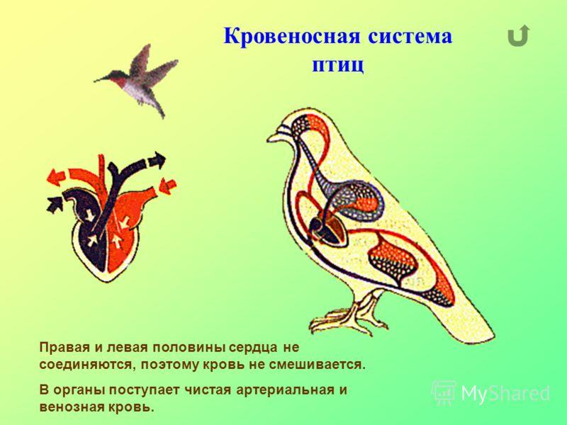 Кровеносная система птиц Правая и левая половины сердца не соединяются, поэтому кровь не смешивается. В органы поступает чистая артериальная и венозная кровь.