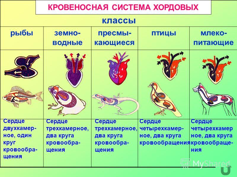 классы рыбыземно- водные пресмы- кающиеся птицымлеко- питающие КРОВЕНОСНАЯ СИСТЕМА ХОРДОВЫХ Сердце двухкамер- ное, один круг кровообра- щения Сердце трехкамерное, два круга кровообра- щения Сердце четырехкамер- ное, два круга кровообращения Сердце че