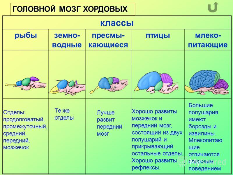 классы рыбыземно- водные пресмы- кающиеся птицымлеко- питающие ГОЛОВНОЙ МОЗГ ХОРДОВЫХ Отделы: продолговатый, промежуточный, средний, передний, мозжечок Те же отделы Лучше развит передний мозг Хорошо развиты мозжечок и передний мозг, состоящий из двух