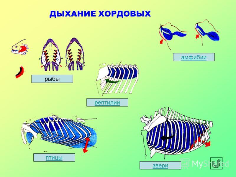 ДЫХАНИЕ ХОРДОВЫХ рыбы рептилии звери амфибии птицы