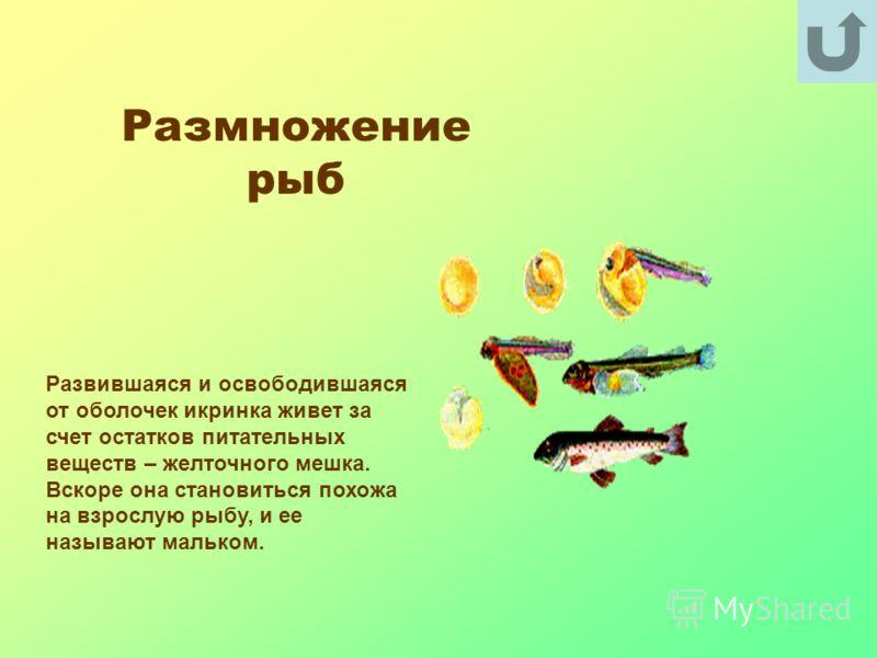 Размножение рыб Развившаяся и освободившаяся от оболочек икринка живет за счет остатков питательных веществ – желточного мешка. Вскоре она становиться похожа на взрослую рыбу, и ее называют мальком.